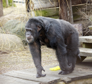 Fauna Foundation Resident Chimps - Binky