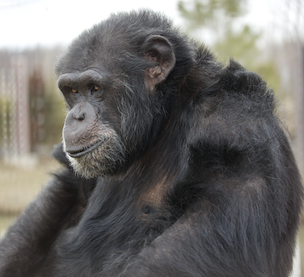 Fauna Foundation Reside Chimps - Binky