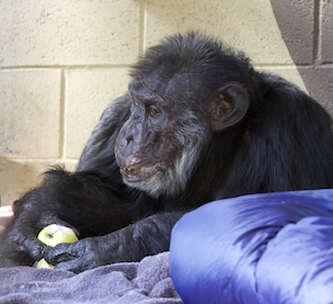 Fauna Foundation Resident Chimp - Loulis