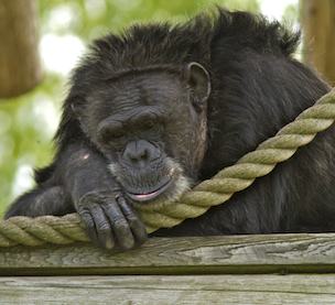 Fauna Foundation Resident Chimp - Rachel