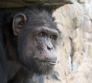 Fauna Foundation Resident Chimp - Regis