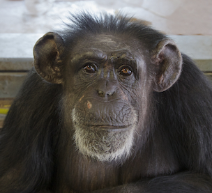 Fauna Foundation Resident Chimp - Sue Ellen