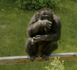 Fauna Foundation Resident Chimp - Toby