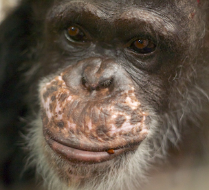 In Remembrance - Fauna Foundation Chimp - Yoko
