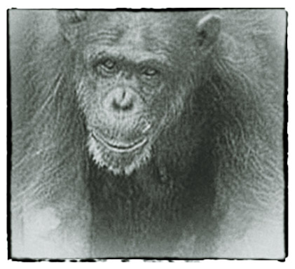 In Remembrance - Fauna Foundation Chimp - Annie