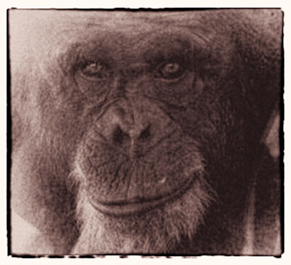 In Remembrance - Fauna Foundation Chimp - Billy Jo