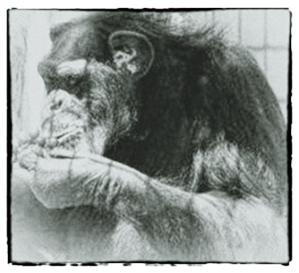 In Remembrance - Fauna Foundation Chimp - Donna Rae