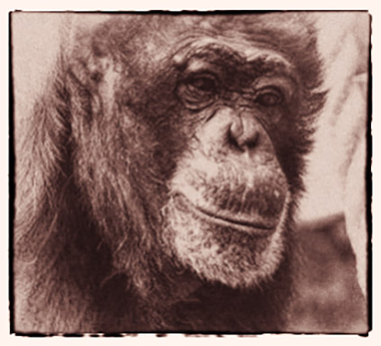 In Remembrance - Fauna Foundation Chimp - Sophie
