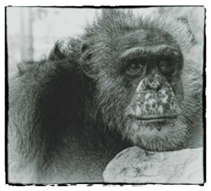 In Remembrance - Fauna Foundation Chimp - Tom