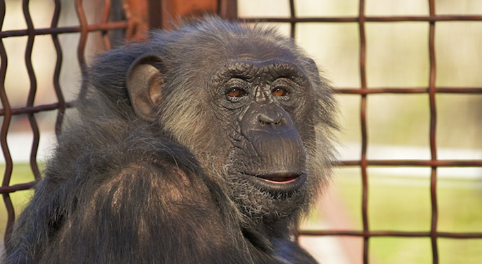 Fauna Foundation Resident Chimp - Chance